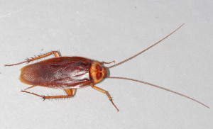 American-cockroach