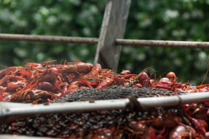 Photo of crawfish by Sally Asher