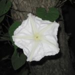 A moonflower blooms at night