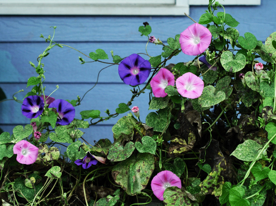Climbing morning glories greet the early sun.