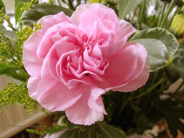 Pink-Carnation-pink-color