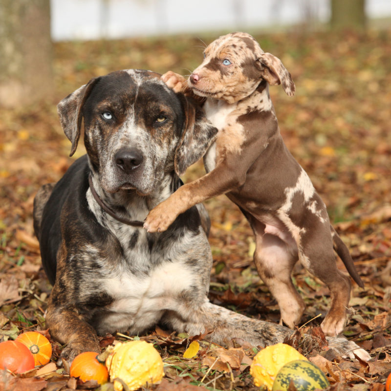 The Catahoula Cur is an American dog breed named after Catahoula Parish, Louisiana, United States. Also known as the Catahoula Leopard Dog or Louisiana Catahoula, it became the state dog of Louisiana in 1979.