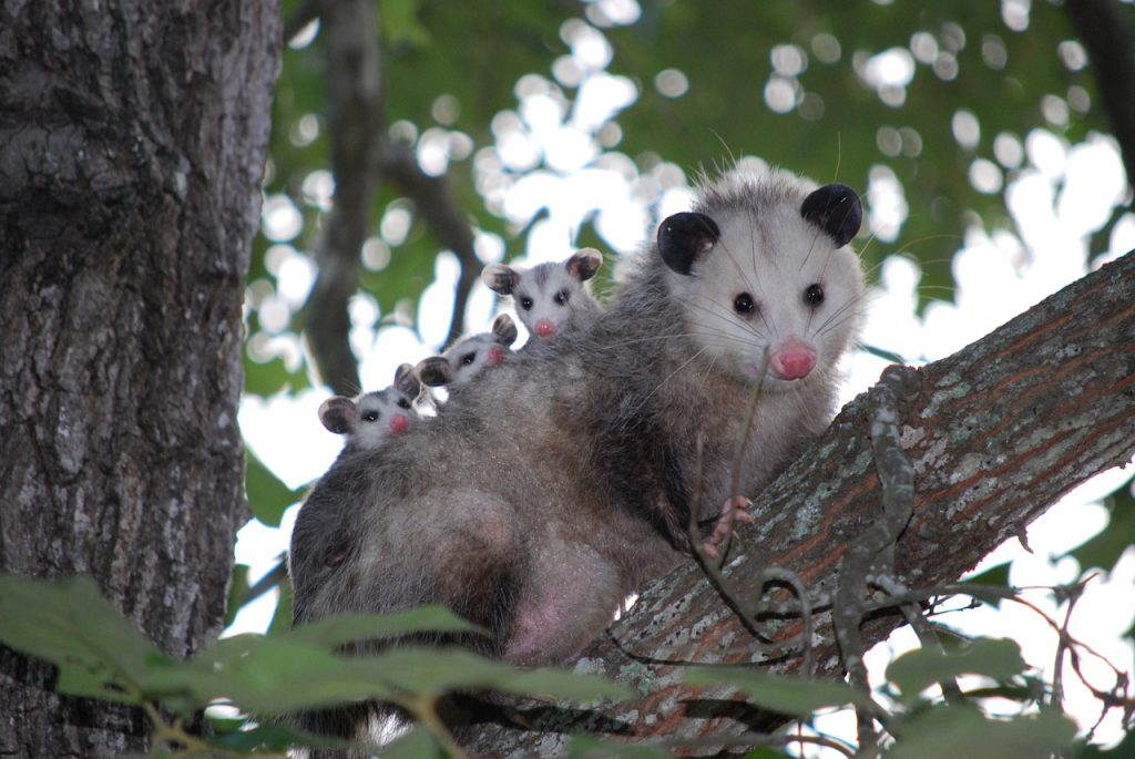 An opossum and her babies in a tree